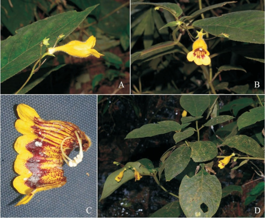 The newest published taxa and newest record of Gesneriaceae from China before 31 December 2017 (20)