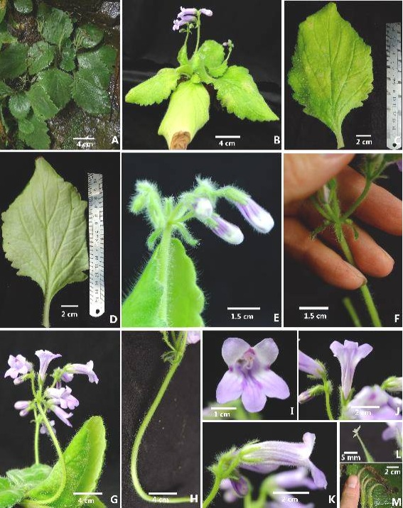 The newest published taxa and newest record of Gesneriaceae from China before 31 December 2017 (24)