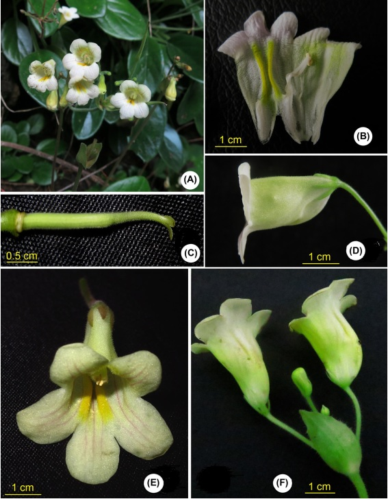 The newest published taxa and newest record of Gesneriaceae from China before 31 December 2017 (23)