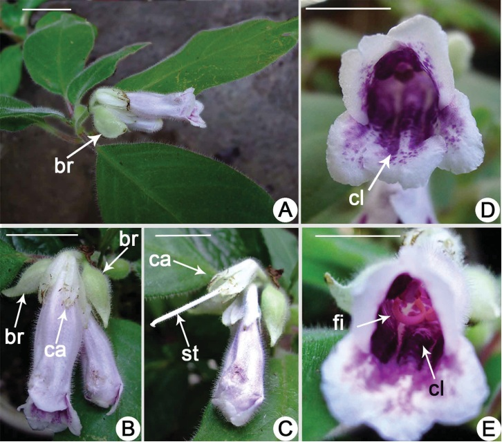 The newest published taxa and newest record of Gesneriaceae from China before 31 December 2018 (2)