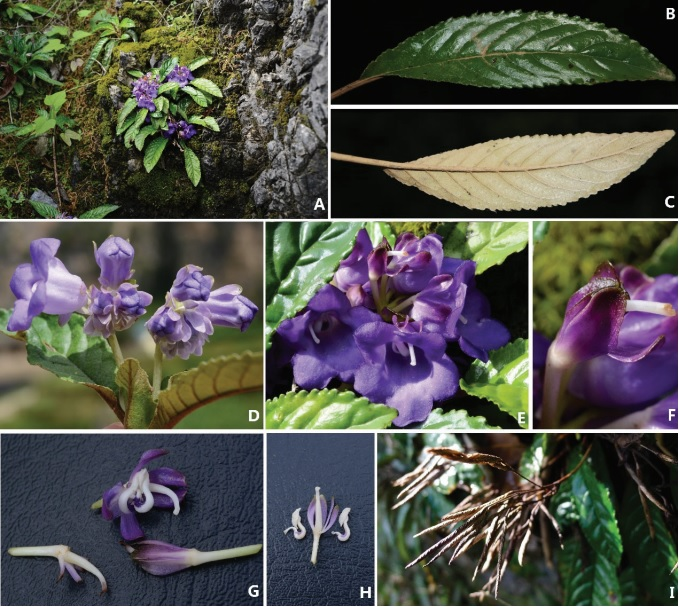 The newest published taxa and newest record of Gesneriaceae from China before 31 December 2018 (4)