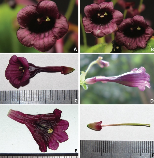The newest published taxa and newest records of Gesneriaceae from the outsides of mainland China by GCCC members before 31 December 2018 (1)
