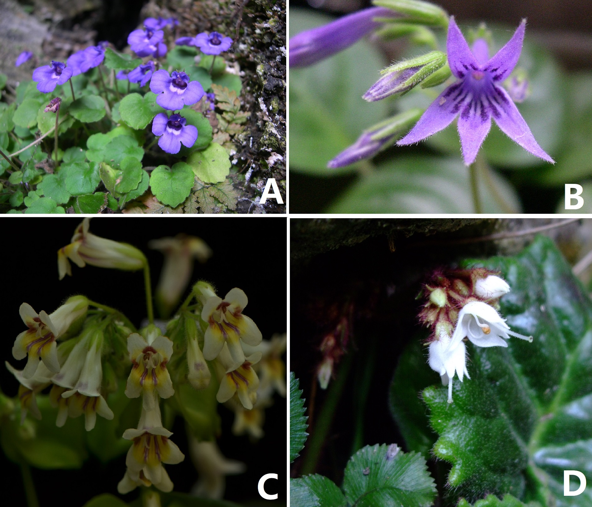 Wei Yi-Gang's researching team have made important progress in the biodiversity of Cave-dwelling plants of China