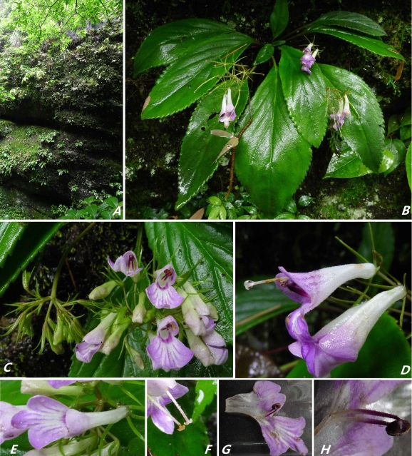 The newest published taxa and newest record of Gesneriaceae from China before 31 December 2018 (5)