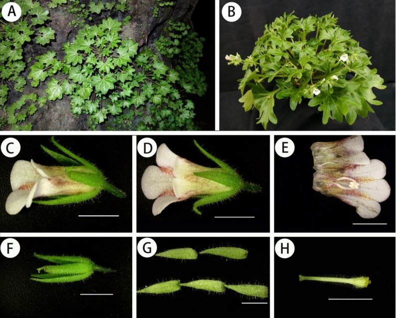 The newest published taxa and newest record of Gesneriaceae from China before 31 December 2018 (6)