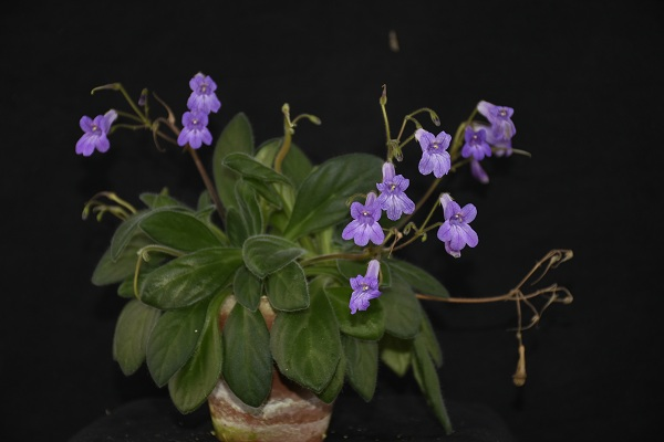 Five new ornamental varieties were officially registered in The Gesneriad Society