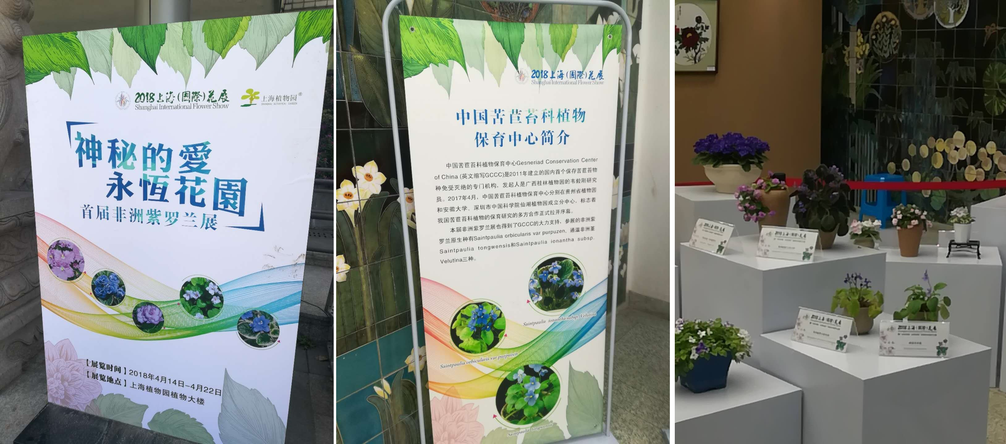 The species of African Violet (Saintpaulia) from GCCC won the Platinum Award at the first flower show of African Violet in Shanghai Botanical Garden