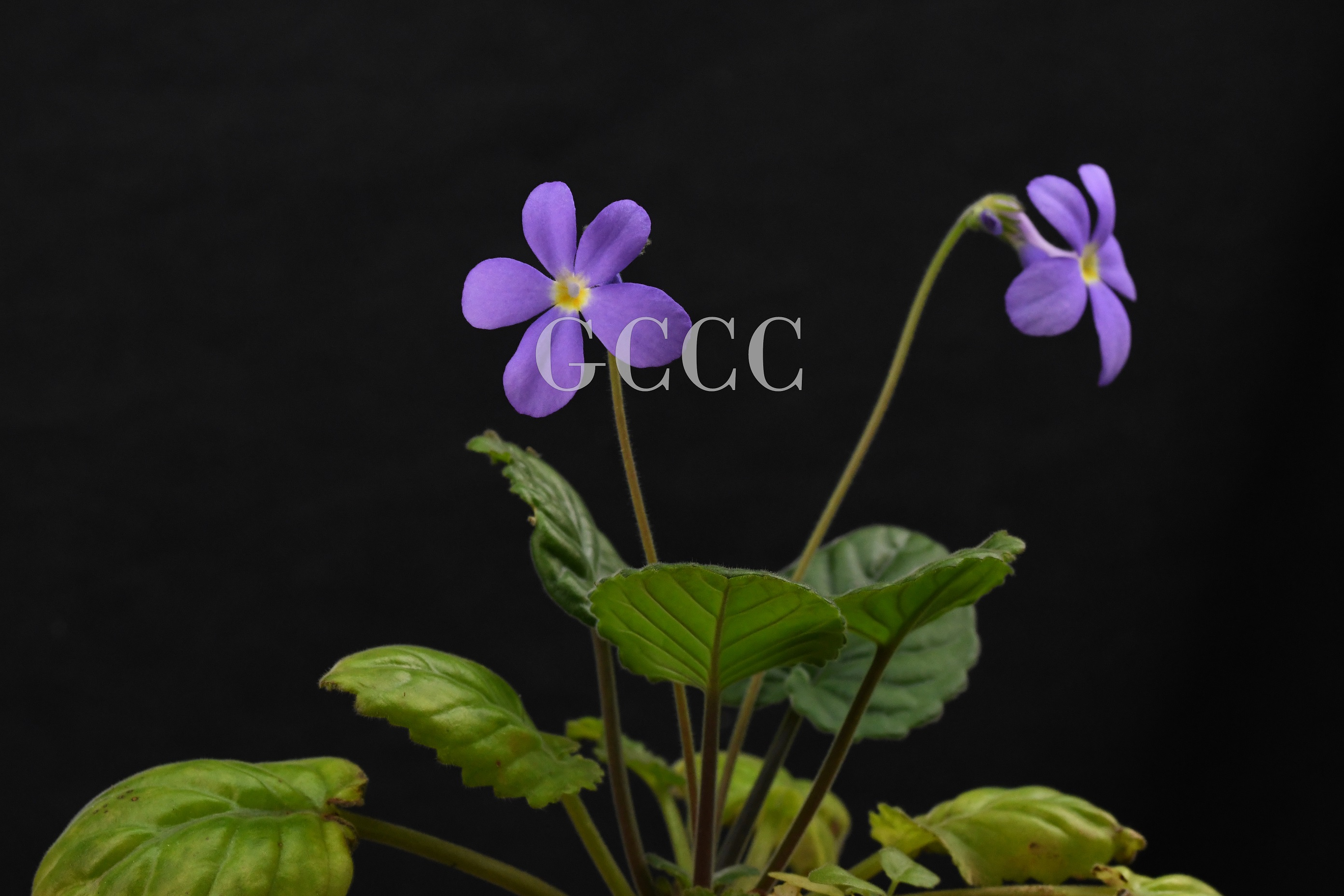 National Gesneriaceae Germplasm Bank in Guangxi Institute of Botany, CAS was certificated as National Flower Germplasm Bank (Second Batch) by National Forestry and Grassland Administration