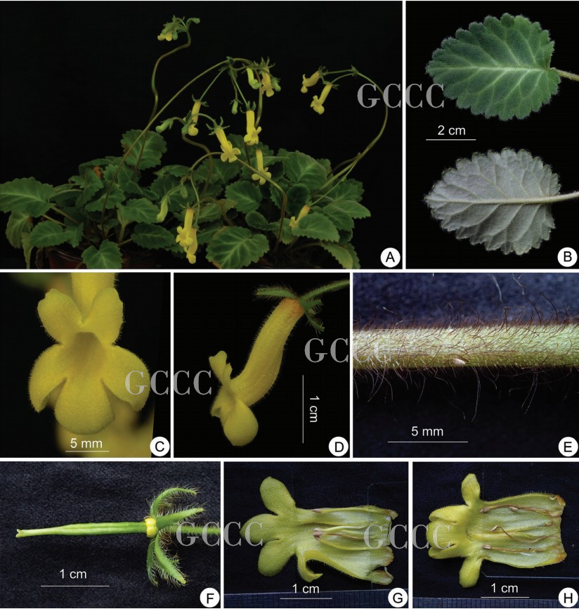 The recently published new taxa and record of Gesneriaceae from China before 31 December 2020 (34)