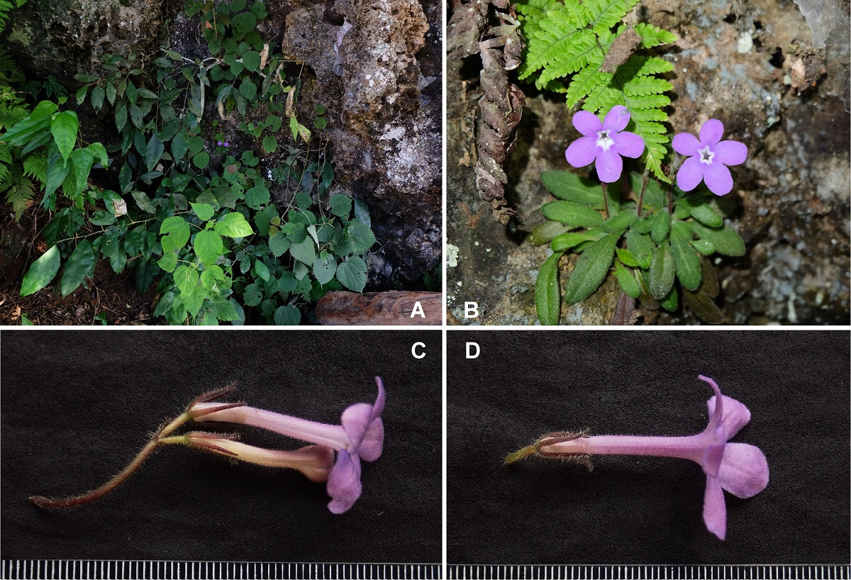 The newest published taxa and newest record of Gesneriaceae from China before 31 December 2020 (12)