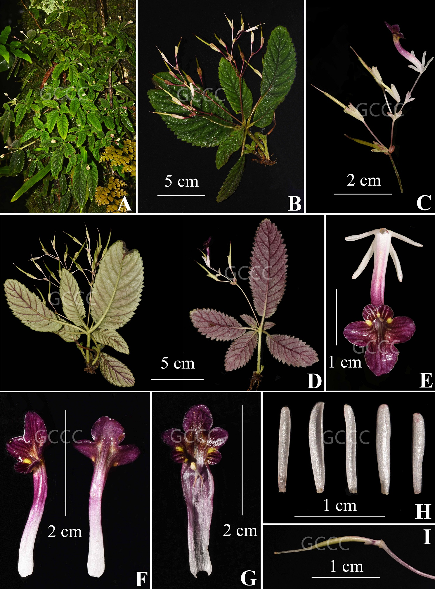 The recently published new taxa and new records of Gesneriaceae from China before 31 December 2021 (03)